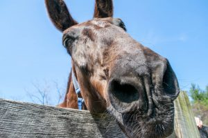 Closeup picture of mule nose peeking over a wooden fence. Blue sky in background.